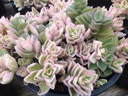 succulent plant plectranthus or my favorite name fuzzy