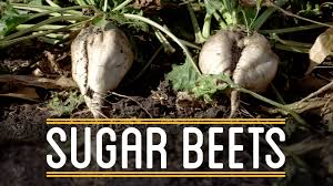 what to do after thanksgiving dinner sugar beets how to make everything thanksgiving dinner 2 5