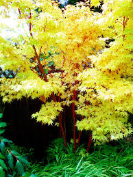 small landscape trees in your garden with coral bark maple