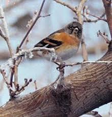 Backyard Birds Utah Common Name Cedar Waxwing Scientific Name Bombycilla Cedrorum