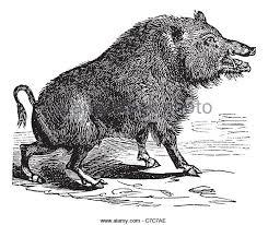 illustration wild boar stock photos u0026 illustration wild boar stock