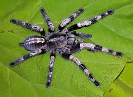 10 best tarantulas images on spiders scorpion and bugs