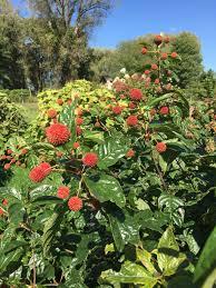 sugar shack buttonbush cephalanthus occidentalis proven winners