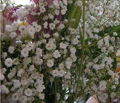 Baby Breath Flowers Gypsophila Plant Grow Baby Breath Flowers U0026 Gyp
