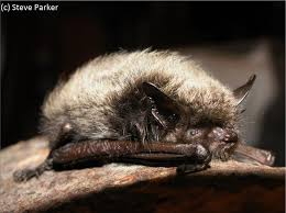 small bat 296 best animals bats images on baby bats baby