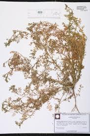 native plants of south carolina herbarium specimen details isb atlas of florida plants