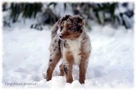 australian shepherd welpen 5 wochen mini aussie welpen ch exquisita u0027s black beauty x southern cross