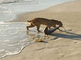 bobcat drags shark out of florida surf