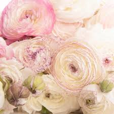 ranunculus flower what s that flower sfumato ranunculus flower muse