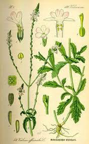verbena officinalis vervain herb cross prostrate verbena