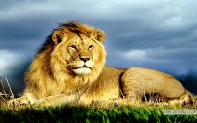 king of jungle big lion hd wallpapers free wallpapers