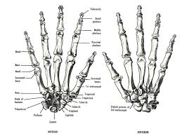 bone of a hand free coloring pages of joints of the hand human