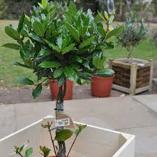 bay tree gifts aromatic evergreen garden trees
