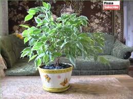 house plant indoor weeping fig picture set of indoor outdoor