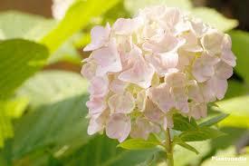 hydrangea hydrangea paniculata limelight macrophylla pruning and care