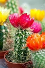imagenes flores de cactus blooming cactus with colorful flowers stock photo picture and