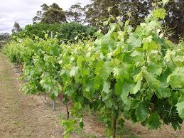 alternative wine grape evaluation in manjimup agriculture and food