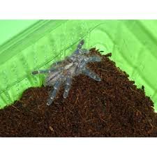 gooty sapphire ornamental tarantula 3 to 4 inch strictly reptiles