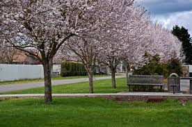 this is a row of blooming cherry blossom trees in a small