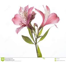 alstroemeria flower alstroemeria flowers stock image image 31458341 tattoos