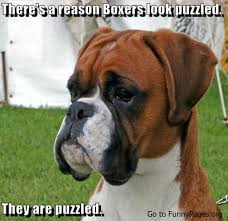 Funny Boxer Dog Memes - 26 best boxer memes images on pinterest pets boxer dogs and boxers
