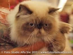 studio persiani i colori gatto persiano petpassion