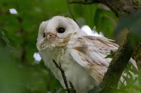 Barn Owl Photography Escapes And Photography Barn Owls And Owlets At Charlecote Park