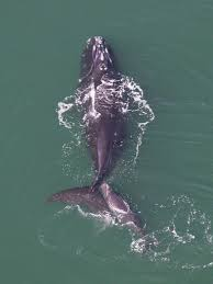 north atlantic right whale new bedford whaling museum blog