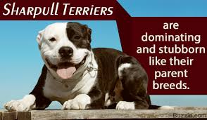 jack russell american pitbull terrier mix amazing information about the shar pei pit bull mix breed