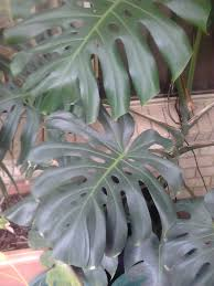 native plants sunshine coast monstera fruit salad tree monstera deliciosa