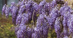 Purple Flower On A Vine - wisteria vines tips on growing and caring for wisteria