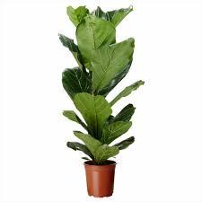 areca palm list of tall houseplants aka floor plants
