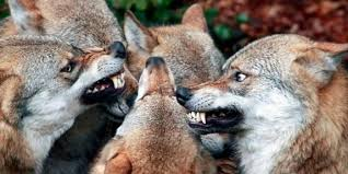 animali da cortile in centro abitato branco di lupi fa strage di pecore chieti il centro