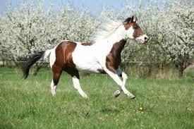 details about the american paint horse association saddleonline com