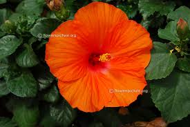 which state has a hibiscus hibiscus flower varieties