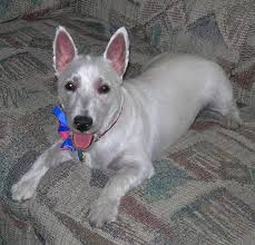 images of westie hair cuts westie a day in the life of a west highland terrier dog haircut pic