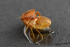 Bed Bug Com Ucr Today Scents From Bed Bugs U0027 Shed Skin Affect The Pests U0027 Behavior