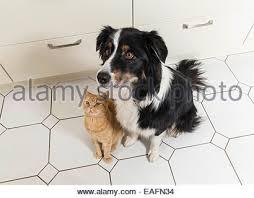 cat with australian shepherd australian shepherd and british shorthair cat stock photo royalty
