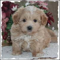 bichon frise kentucky mixed breed puppies puppy for sale toy non shed dog breeders iowa