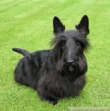 scottish yerrier haircuts grooming tips scottish terrier and dog news