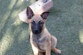 belgian shepherd how much view ad belgian malinois puppy for sale california imperial