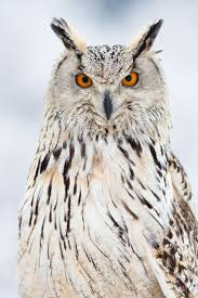 73 best owls images on pinterest animals barn owls and