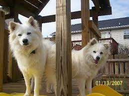 american eskimo dog black american eskimo dog breed information and pictures