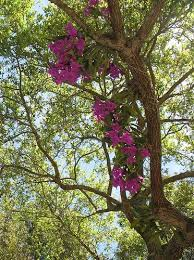 cattleya skinneri orchid growing in oak tree fl flowering plants