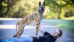 australian shepherd qld dog with tiger like stripes x x us 2017