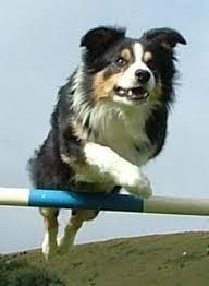incrocio border collie x australian shepherd border collie al guinzaglio come farsi ubbidire http www