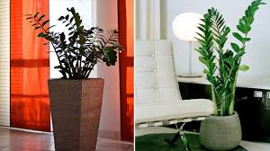 Low Light House Plant Kentia Palm Chinese Evergreen Zamioculcas Beauty Low Light