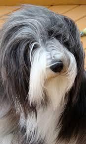 affenpinscher for sale canada dog breeders in canada canadogs