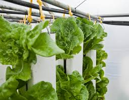 growing lettuce in zipgrow towers