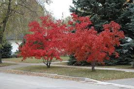 my saskatoon choosing a tree for your front yard